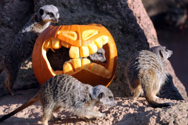Meerkats inspect a shaped pumpkin on Oct